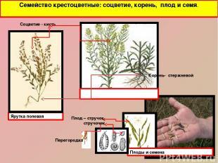 Семейство крестоцветные: соцветие, корень, плод и семя. Ярутка полевая Плоды и с