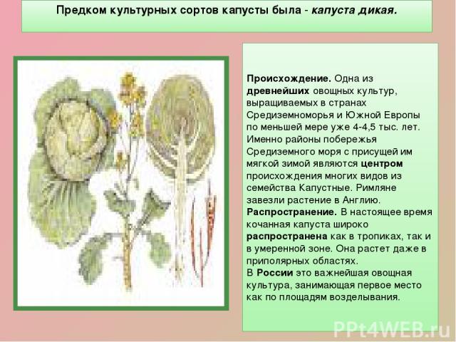 Предком культурных сортов капусты была - капуста дикая. Происхождение. Одна из древнейших овощных культур, выращиваемых в странах Средиземноморья и Южной Европы по меньшей мере уже 4-4,5 тыс. лет. Именно районы побережья Средиземного моря с присущей…
