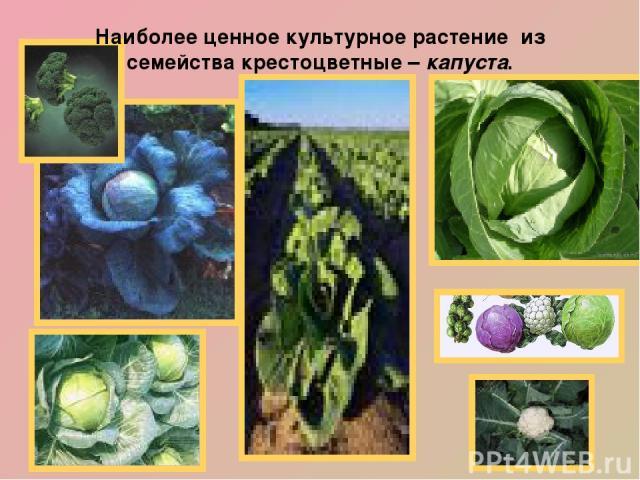 Наиболее ценное культурное растение из семейства крестоцветные – капуста. Наши предки - славяне первыми изобрели способ заквашивания капусты. Кочанная капуста обладает высокой питательной ценностью, содержит 1,6% белка, 4% углеводов, богата клетчатк…