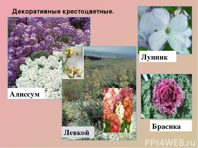 Декоративные крестоцветные. Алиссум Левкой Брасика Лунник Декоративны е растения семейства: левкой, алиссум, брасика, лунник, лакфиоль, вечерница.