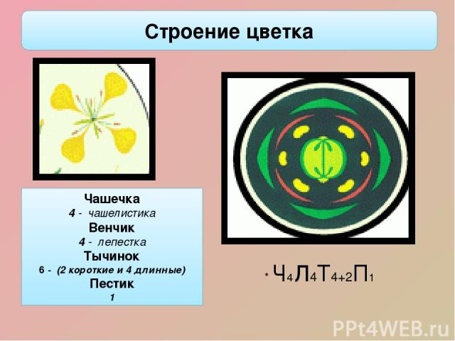 Чашечка 4 - чашелистика Венчик 4 - лепестка Тычинок 6 - (2 короткие и 4 длинные) Пестик 1 * Ч4л4Т4+2П1 Строение цветка Цветки крестоцветных лишены прицветников, не крупные, зачастую очень мелкие, невзрачные. Чашелистики у крестоцветных расположены п…