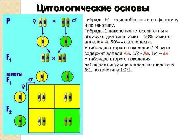 Гибриды F1 –единообразны и по фенотипу и по генотипу. Гибриды 1 поколения гетерозиготны и образуют два типа гамет – 50% гамет с аллелем А, 50% - с аллелем а. У гибридов второго поколения 1/4 зигот содержит аллели АА, 1/2 - Аа, 1/4 – аа. У гибридов в…