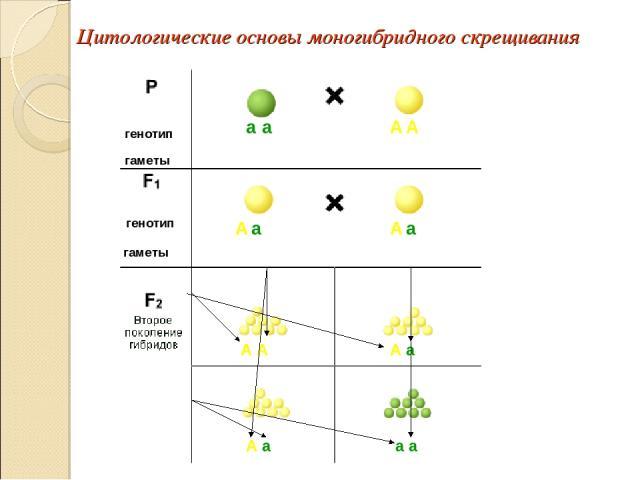Цитологические основы моногибридного скрещивания а а А А А А а а А А А а А а а а
