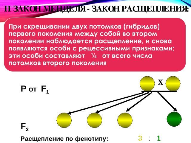 II ЗАКОН МЕНДЕЛЯ - ЗАКОН РАСЩЕПЛЕНИЯ: При скрещивании двух потомков ( F2 P от F1 3 : 1 Расщепление по фенотипу: