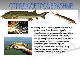 Осетровые - самые древние и ценные рыбы реки Дон. Белуга - «рыба царей»,самая кр