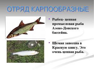 Рыбец- ценная промысловая рыба Азово-Донского бассейна. Шемая занесена в Красную