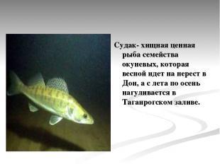 Судак- хищная ценная рыба семейства окуневых, которая весной идет на нерест в До
