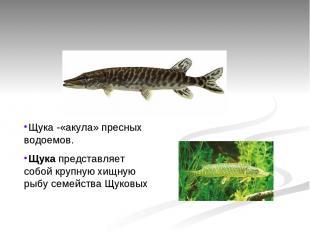 Щука -«акула» пресных водоемов. Щукапредставляет собой крупную хищную рыбу семе