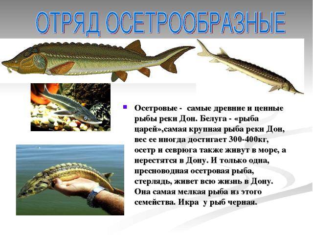 Осетровые - самые древние и ценные рыбы реки Дон. Белуга - «рыба царей»,самая крупная рыба реки Дон, вес ее иногда достигает 300-400кг, осетр и севрюга также живут в море, а нерестятся в Дону. И только одна, пресноводная осетровая рыба, стерлядь, жи…