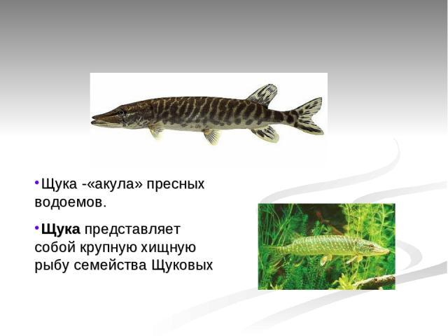 Щука -«акула» пресных водоемов. Щукапредставляет собой крупную хищную рыбу семейства Щуковых