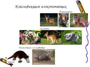Классификация млекопитающих Яйцекладущие, или первозвери Сумчатые Плацентарные е