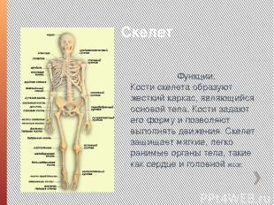 Скелет Функции: Кости скелета образуют жесткий каркас, являющийся основой тела.