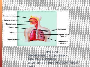 Дыхательная система Функции: обеспечивает поступление в организм кислорода выдел