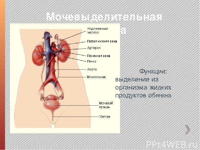Мочевыделительная система Функции: выделение из организма жидких продуктов обмена