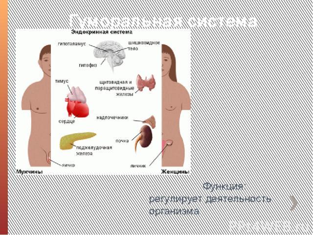 Гуморальная система Функция: регулирует деятельность организма