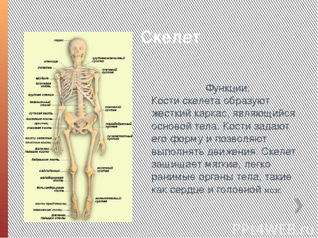 Скелет Функции: Кости скелета образуют жесткий каркас, являющийся основой тела. Кости задают его форму и позволяют выполнять движения. Скелет защищает мягкие, легко ранимые органы тела, такие как сердце и головной мозг.