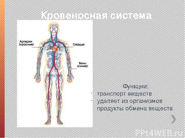 Кровеносная система Функции: транспорт веществ удаляет из организмов продукты обмена веществ