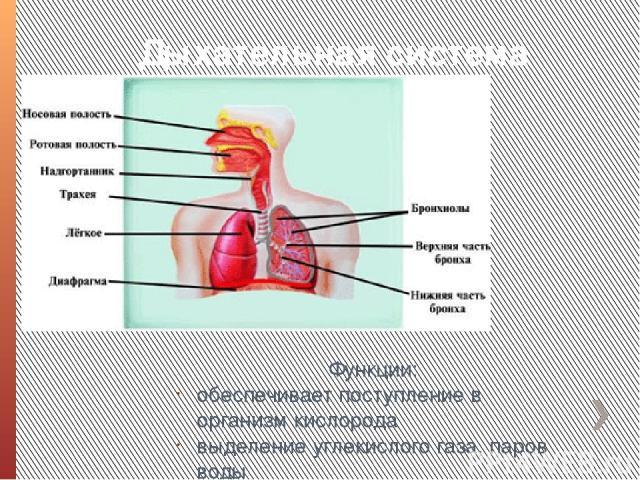 Дыхательная система Функции: обеспечивает поступление в организм кислорода выделение углекислого газа, паров воды