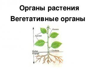 Органы растения Вегетативные органы