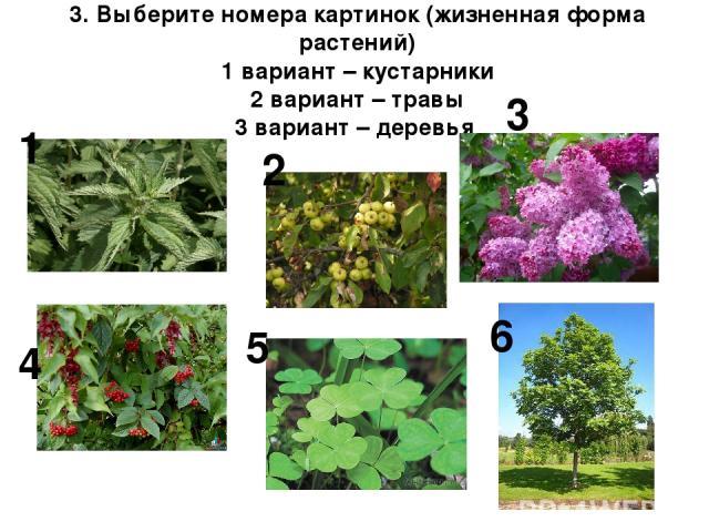 3. Выберите номера картинок (жизненная форма растений) 1 вариант – кустарники 2 вариант – травы 3 вариант – деревья 1 4 2 5 3 6
