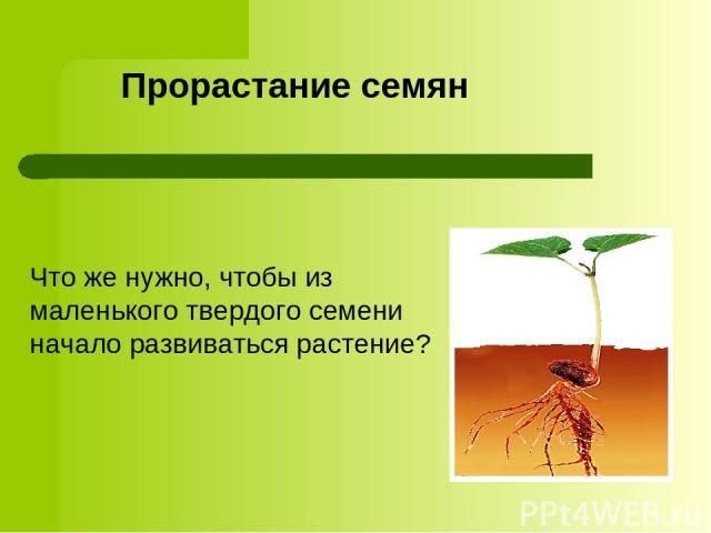 Прорастание семян Что же нужно, чтобы из маленького твердого семени начало развиваться растение?