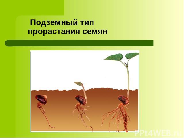 Подземный тип прорастания семян
