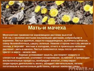 Мать-и мачеха Описание: Многолетнее травянистое корневищное растение высотой 5-2