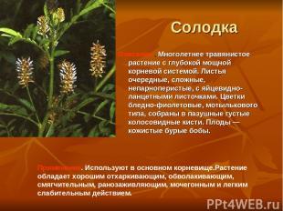 Солодка Описание . Многолетнее травянистое растение с глубокой мощной корневой с