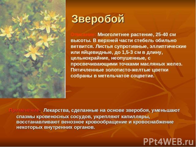 Зверобой Применение. Лекарства, сделанные на основе зверобоя, уменьшают спазмы кровеносных сосудов, укрепляют капилляры, восстанавливают венозное кровообращение и кровоснабжение некоторых внутренних органов. Описание: Многолетнее растение, 25-40 см …