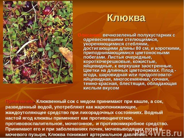Клюква Описание: вечнозеленый полукустарник с одревесневшими стелющимися, укореняющимися стеблями, достигающими длины 80 см, и короткими, приподнимающимися цветоносными побегами. Листья очередные, короткочерешковые, кожистые, яйцевидные, к верхушке …