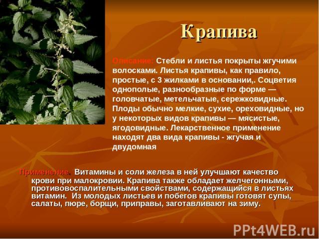 Крапива Применение. Витамины и соли железа в ней улучшают качество крови при малокровии. Крапива также обладает желчегонными, противовоспалительными свойствами, содержащийся в листьях витамин. Из молодых листьев и побегов крапивы готовят супы, салат…