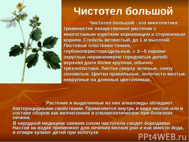 Применение. Растение и выделенные из них алкалоиды обладают бактерицидными свойствами. Применяется внутрь в виде настоя или в составе сборов как желчегонное и спазмолитическое при болезнях печени. В народной медицине свежим соком чистотела сводят бо…