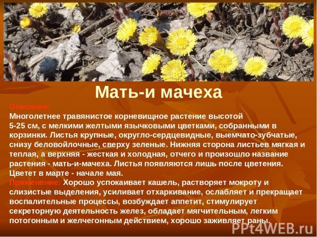 Мать-и мачеха Описание: Многолетнее травянистое корневищное растение высотой 5-25 см, с мелкими желтыми язычковыми цветками, собранными в корзинки. Листья крупные, округло-сердцевидные, выемчато-зубчатые, снизу беловойлочные, сверху зеленые. Нижняя …