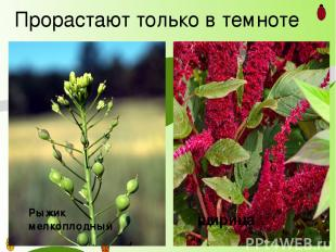 Прорастают только в темноте Рыжик мелкоплодный щирица