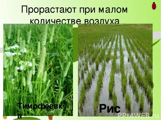 Прорастают при малом количестве воздуха Тимофеевка Рис