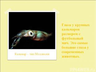 Глаза у крупных кальмаров размером с футбольный мяч. Это самые большие глаза у с