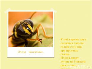 У пчёл кроме двух сложных глаз на голове есть ещё три простых глазка. Пчёлы видя