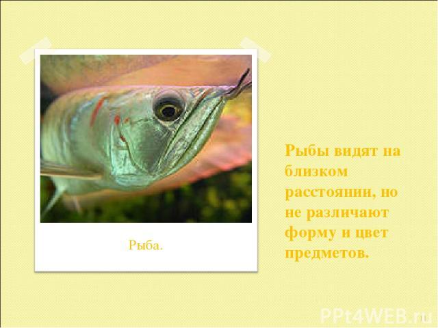 Рыбы видят на близком расстоянии, но не различают форму и цвет предметов. * Рыба.