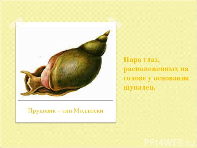 Пара глаз, расположенных на голове у основания щупалец. * Прудовик – тип Моллюски