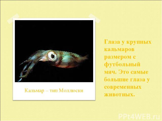 Глаза у крупных кальмаров размером с футбольный мяч. Это самые большие глаза у современных животных. * Кальмар – тип Моллюски