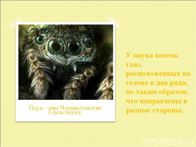 У паука восемь глаз, расположенных на голове в два ряда, но таким образом, что направлены в разные стороны. * Паук - тип Членистоногие Глаза паука.
