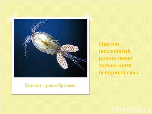 Циклоп (веслоногий рачок) имеет только один непарный глаз. * Циклоп – ракообразные.