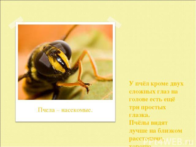 У пчёл кроме двух сложных глаз на голове есть ещё три простых глазка. Пчёлы видят лучше на близком расстоянии, хорошо различают цвета. * Пчела – насекомые.