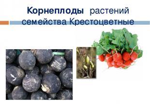 Корнеплоды растений семейства Крестоцветные Мерзликина Галина Валерьевна