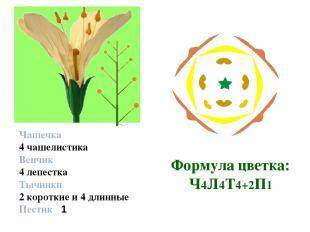 Строение цветка Чашечка 4 чашелистика Венчик 4 лепестка Тычинки 2 короткие и 4 д