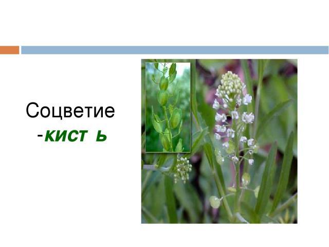 Соцветие -кисть Мерзликина Галина Валерьевна