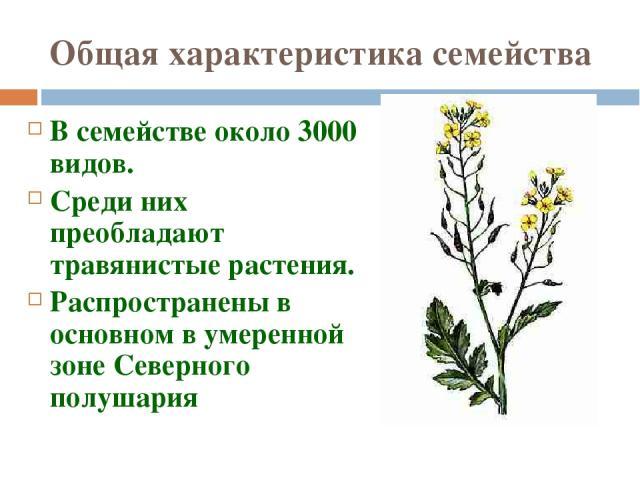 Общая характеристика семейства В семействе около 3000 видов. Среди них преобладают травянистые растения. Распространены в основном в умеренной зоне Северного полушария Мерзликина Галина Валерьевна