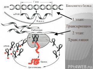 Биосинтез белка 1 этап: Транскрипция 2 этап: Трансляция