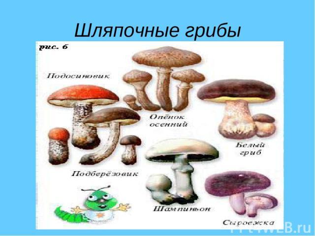 Шляпочные грибы