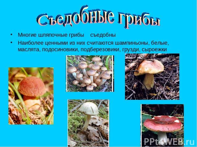 Многие шляпочные грибы съедобны Наиболее ценными из них считаются шампиньоны, белые, маслята, подосиновики, подберезовики, грузди, сыроежки